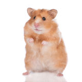 Hamster on white. Adorable little hamster on white stock photo