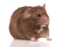 Hamster on white Stock Photo