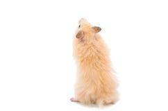 Hamster Royalty Free Stock Photo
