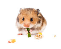 Hamster on a white. Background Royalty Free Stock Images