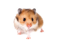 Hamster on a white. Background Stock Images