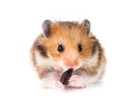 Hamster on a white. Background Stock Photos