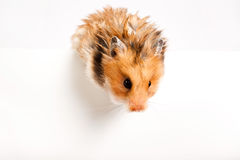Hamster and white blank Royalty Free Stock Photos