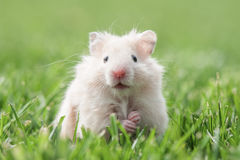 Hamster. White hamster on lawn closeup Stock Photography