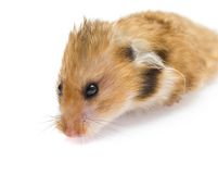 Hamster  on white Stock Image