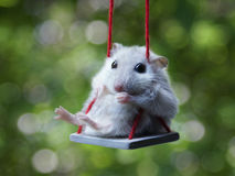 Hamster. White hamster on a swing