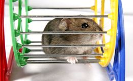 Hamster in wiel Royalty-vrije Stock Afbeeldingen