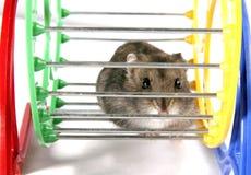 Hamster in wiel Royalty-vrije Stock Foto