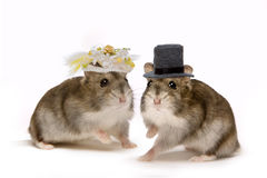 hamsterbröllop Arkivfoton