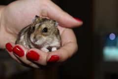 Hamsteren räcker in Royaltyfri Foto