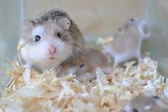 Hamsterfamilj arkivbilder