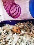 Hamsterhamstersitzen Lizenzfreies Stockfoto