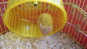 Hamsterhuis in het houden in gevangenschap Het Lopende Wiel van de hamster Rode hamster stock videobeelden