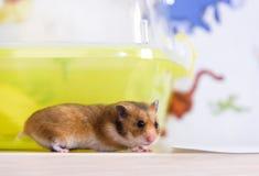 Hamsterläufe nahe seinem Käfig Lizenzfreie Stockbilder