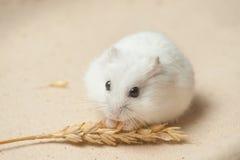 Hamstern äter en kärna ur Royaltyfria Foton