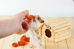 Hamstern tar de torkade aprikornas ut ur handen för flicka` s Arkivfoton