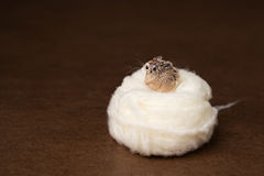 Hamsterrede Royaltyfria Bilder