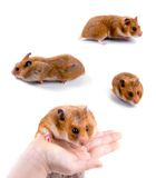 Hamsters Royalty Free Stock Photo
