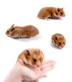 Hamsters Photo libre de droits