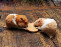 Hamsters Royalty Free Stock Photos