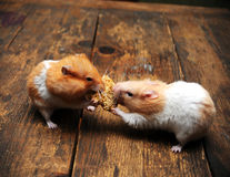 Hamsters. Very cute Hamsters on a wood background eating amaranth Stock Photos