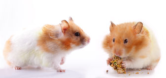 Hamsters. Two female Syrian hamsters against white background; one hamster is eating greedily stuffing her cheek pouch while the other is looking