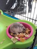 hamsters Royalty-vrije Stock Afbeelding