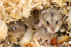 Hamsters Images libres de droits