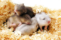 Hamsters Babies Pile Royalty Free Stock Image