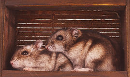 Hamsters in box Royalty Free Stock Photography