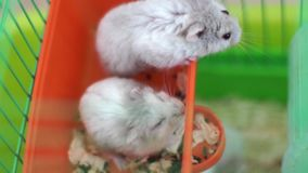 Hamsters in a cage Stock Photography