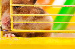 Unhappy hamster Stock Photography