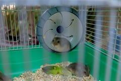 Hamsters de blanc d'hiver de bébé Image libre de droits