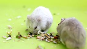 Hamsters eating Royalty Free Stock Images