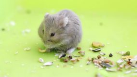 Hamsters eating Stock Photography