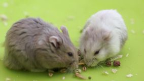 Hamsters eating Stock Photos