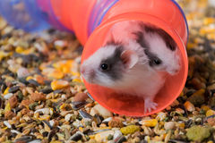 Hamsters en voedsel Stock Foto