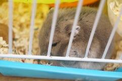 Hamsters Stock Photos