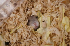 Hamsters Stock Photography