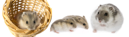 Hamsters royalty free stock image
