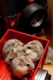 Hamsters in a Jeep trailer toy. 4 young hamsters in a Jeep trailer toy Stock Image