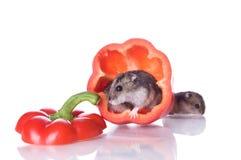 hamsters pepprar läst Fotografering för Bildbyråer