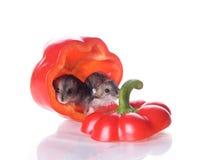 hamsters pepprar läst Arkivfoto