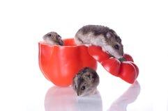 hamsters pepprar läst Royaltyfri Fotografi