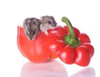 hamsters pepprar läst Arkivbilder