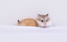 Hamsters Royalty Free Stock Images