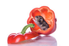 Hamsters and read pepper Stock Photo