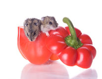 Hamsters and read pepper Stock Images