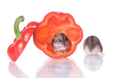Hamsters and read pepper Royalty Free Stock Photography