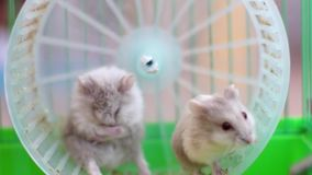 2 hamsters running on wheel in cage Royalty Free Stock Photography